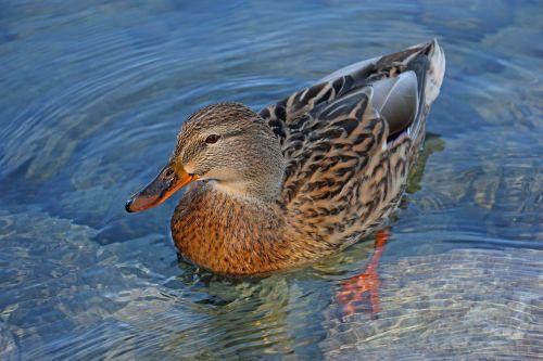 duck nature lake
