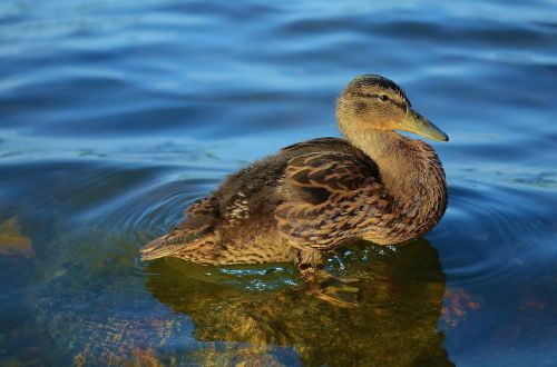 duck animal nature