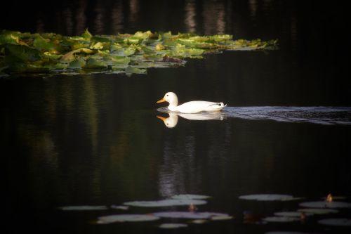duck white duck white