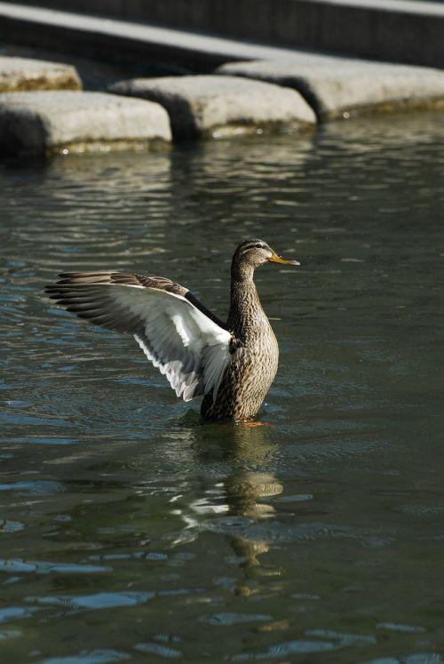 duck cheonggyecheon stream wing
