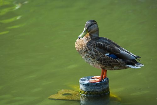 duck luhačovice river