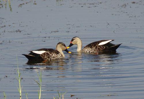 duck bird waterfowl