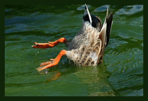 duck bird pintail