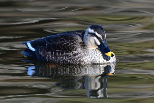 duck bird pond