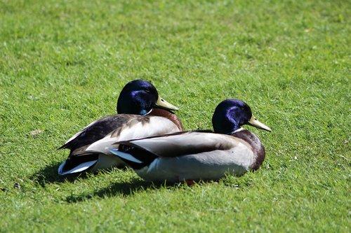 duck  animals  flying