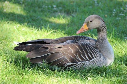 duck  goose  bird