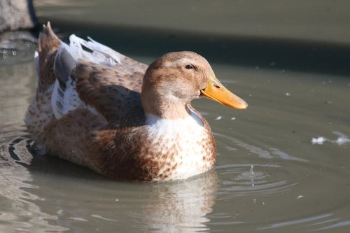 duck  duck bird  animal