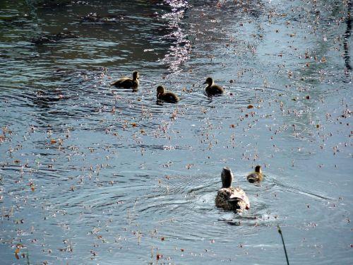 duck chicks ducks