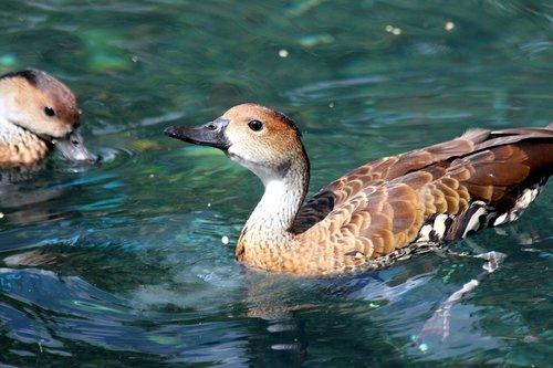 duck  dendrocygna arborea  bird