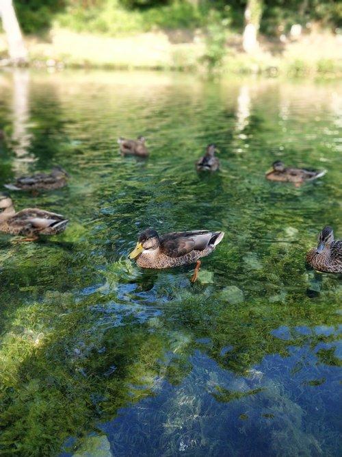 duck  water  algae
