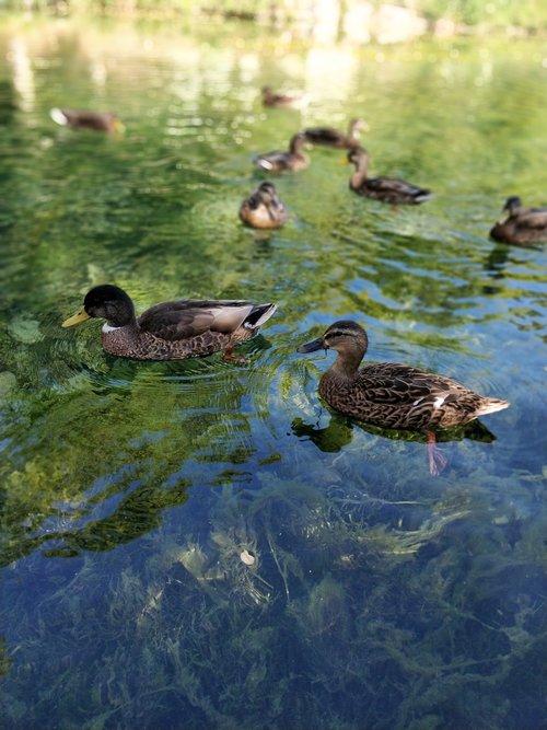 duck  water  alga
