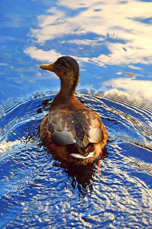 duck  wild ducks  beast