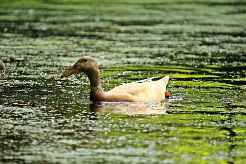 duck  bird  water