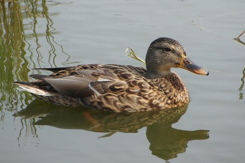 duck  water  bird