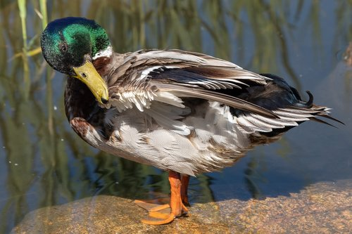 duck  waterfowl  water