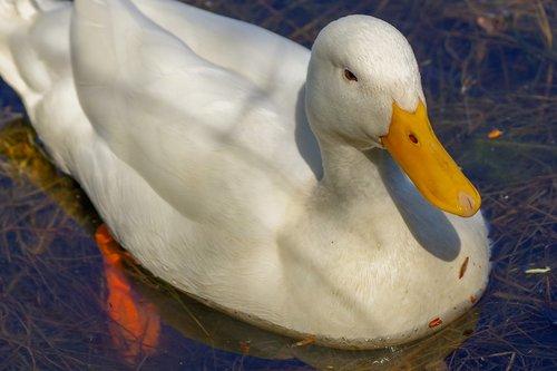 duck  nature  water birds