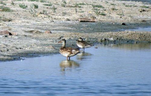 duck  gadwall  mareca strepera