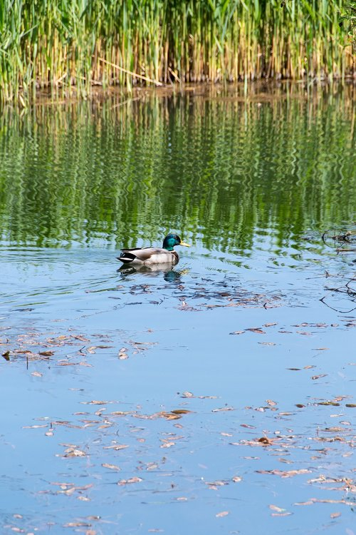duck  crossword  pond