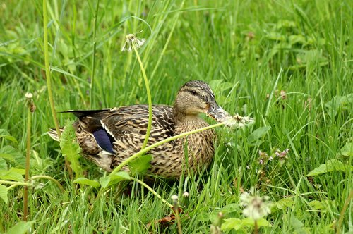 duck  crossword  dandelions