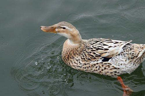 duck  swim  water