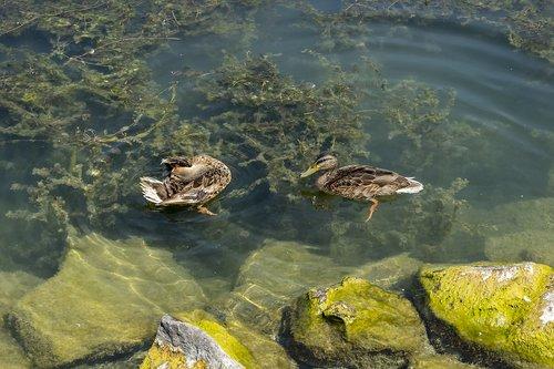 duck  ducks  wild ducks