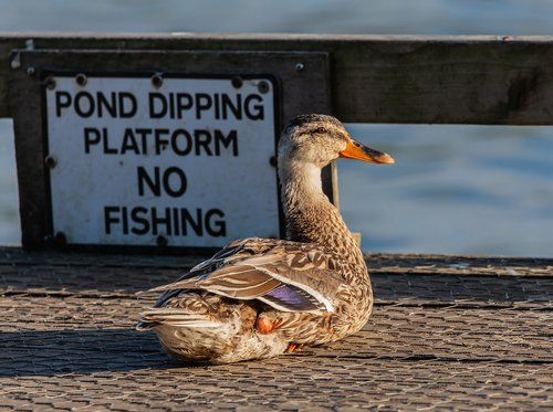 duck  female duck  mallard