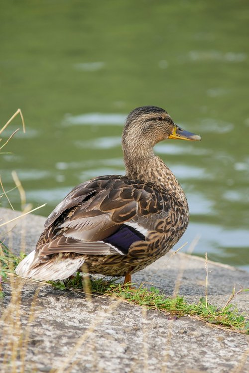 duck  crossword  bird