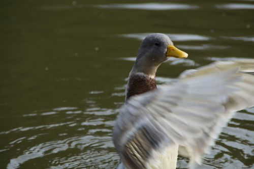 duck flutter wing-beat