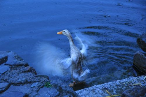duck moment water