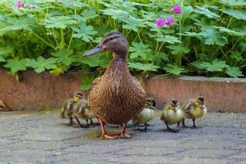duck duck family chicks