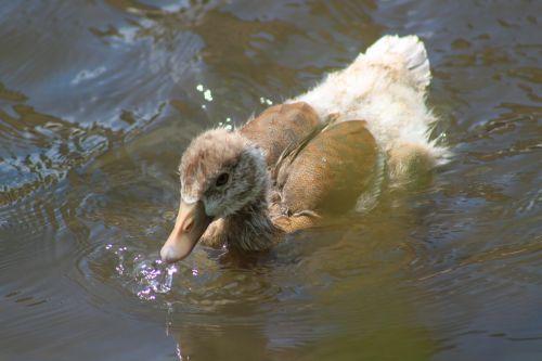 duck water nature