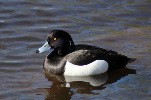 duck tufted tufted duck