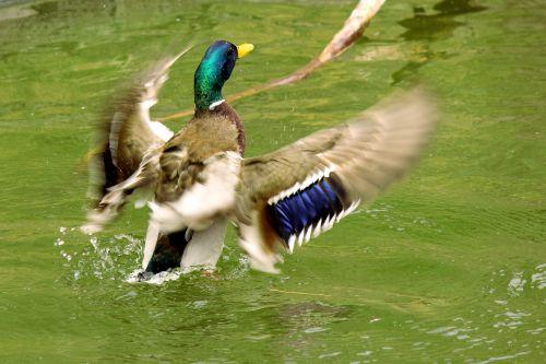 antis, aerobika, plunksnos, paukštis, vanduo, vandens paukštis, snapas, žalias, mėlynas, ruda, balta, purslų, ruožas, žaisti, linksma, mielas, ančių aerobika 2