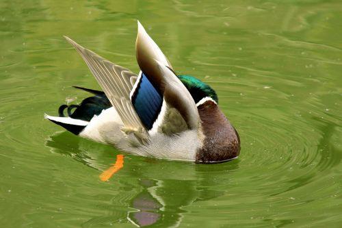 antis, aerobika, plunksnos, paukštis, vanduo, vandens paukštis, snapas, žalias, mėlynas, ruda, balta, purslų, ruožas, žaisti, linksma, mielas, ančių aerobika 3