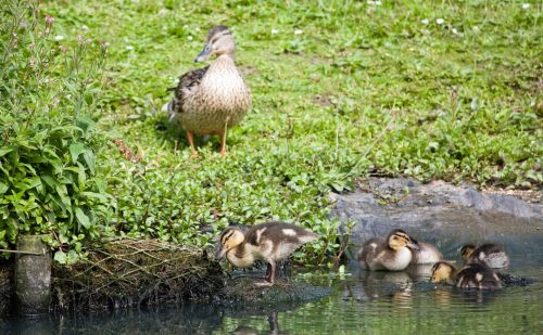 Duck And Baby Ducklings