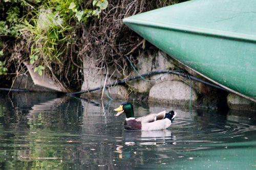 Duck And Canoe