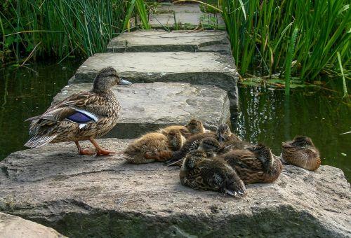 duck family ducks duck