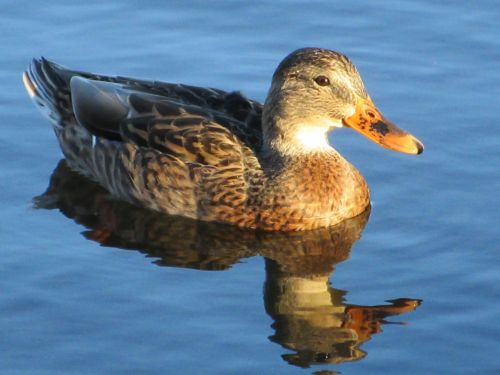 Duck In A Lake