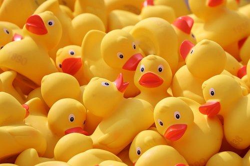 duck meet  ducks  rubber ducks