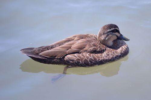 Duck Posing In Calm Water