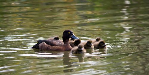 duckling ducklings baby ducklings