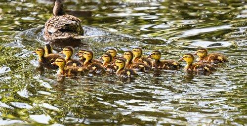duckling  duck  waterbird