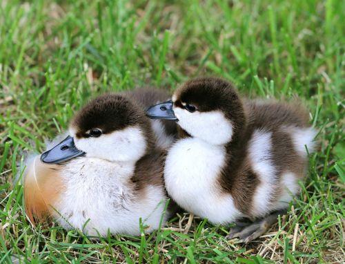 ducklings little kids