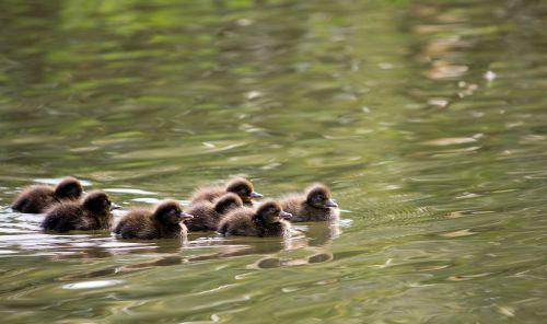 ducklings duckling duck