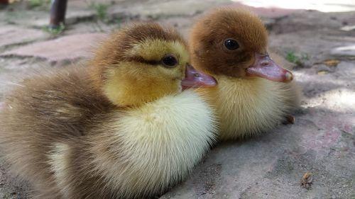 ducklings little ducklings village