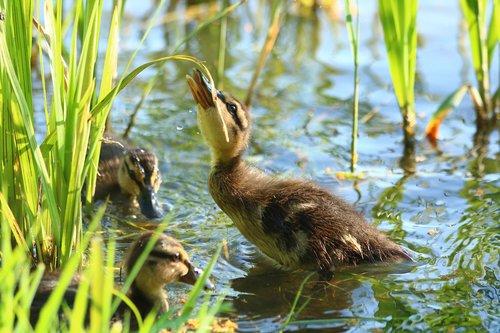 ducklings  ducks  waterfowl