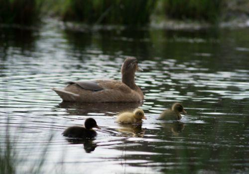ducklings ducks chicks