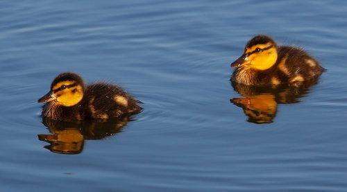 ducklings  baby ducks  duckling