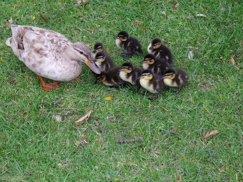 ducklings animals flock