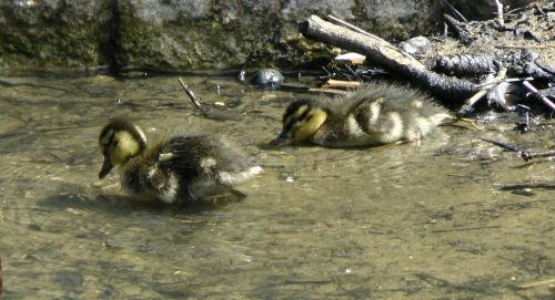 Ducklings At The River Bank